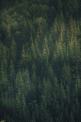 Full image of pine forest from above. Fall season. Misty coniferous landscape with in hipster retro style