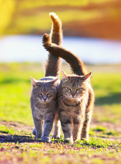 two beautiful cats in love is cuddling on a green meadow and holding up the tails of the spring Sunny day