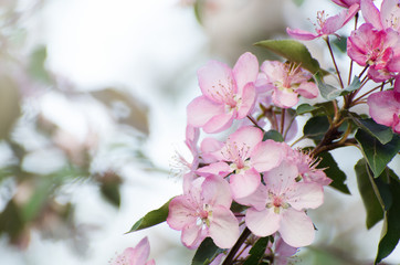 Soft focused Pink flowers of apple tree against blurred bokeh background. Romantic floral template.