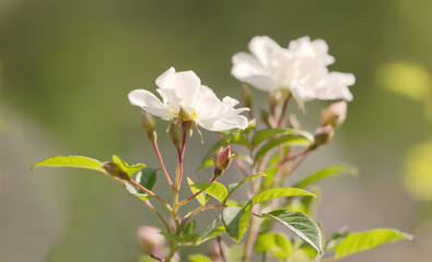Closeup of white Helenae hybrida rose flower bush and green leaf a sunny morning