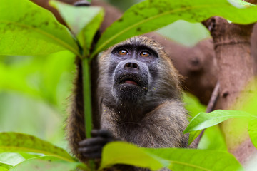 Cute hungry baboon in lake manyara national park