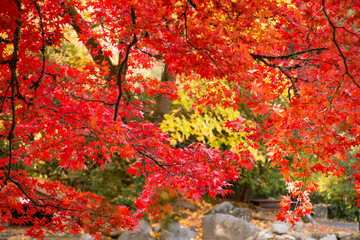 Autumn foliage, red Japanese Maple tree