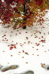 Tree and red tree leaves and foot print on white snow