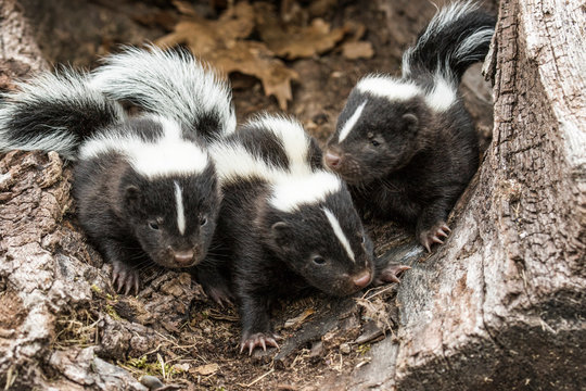 Skunks in Minnesota