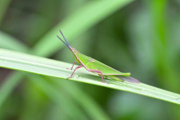 Green grasshopper on leaf / little grasshopper field on green plant nature blur background