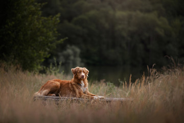 the dog is sitting on the bench. Pet in nature. Autumn mood. Nova Scotia Duck Tolling Retriever, toller