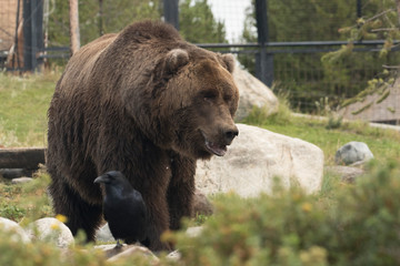 Grizzly bear, also called the Brown Bear