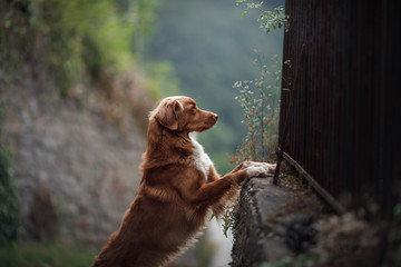 dog in the ruins of the castle. Travel with a pet. Nova Scotia Duck Tolling Retriever, toller