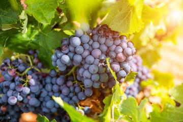 Grapes close-up in a vineyard, La Rioja, Spain