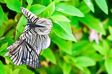 メスを取り合う蝶