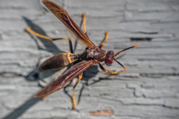 Paper wasp on grey painted wooden wall