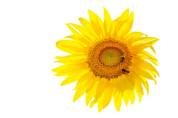 Beautiful blooming sunflower which sits two bees on a white background, isolated sunflower.