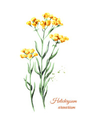 Sandless immortelle. Yellow flowers Helichrysum arenarium. Medicinal plant. Watercolor hand drawn illustration, isolated on white background