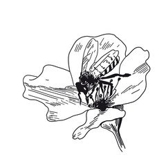 Bee collects honey on flowers. Vector sketches hand drawn