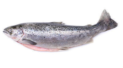 Salmon fish on white background