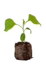 Eggplant seedlings in peat tablet on white background