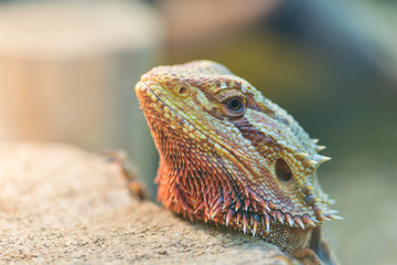 .Close - up of the bearded Agama in the terrarium, view through the glass of the terrarium.