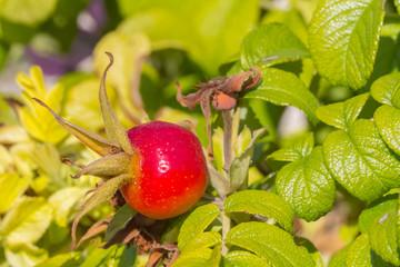 Cynorhodon, fruit de l'églantier, rose sauvage