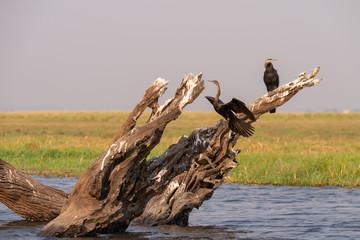 Landschaft mit Baumstümpfen und Schlangenhalsvögeln im Chobe Nationalpark, Botswana