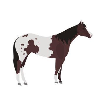 Appalusian horse color vector icon. Flat design