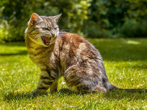 Angry yelling cat