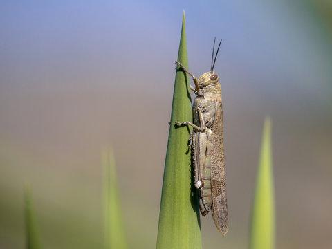 Migratory locust perched green plant