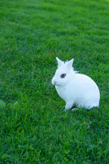 Cute white rabbit with blue eyes on a background of green grass