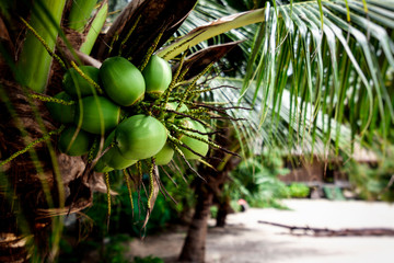 Fresh young coconuts on palm tree, closeup, healthy food,  tropical life concept