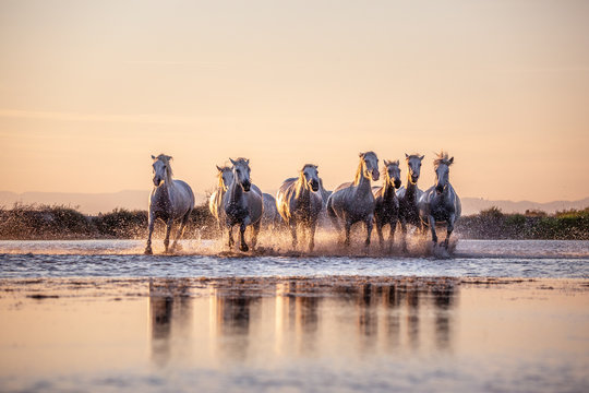 White Wild Horses of Camargue running on water at sunset, Aigue Mortes, France