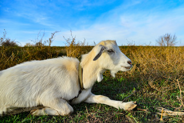A close-up portrait of a white goat with long ears looking into the camera on the grass.
