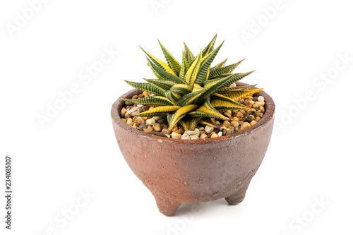 Macro Shot Of Haworthia Limifolia Variegata Is A Succulents Cactus Plant In Ceramic Pot Isolated On White Background