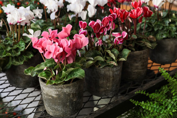 Variety of potted cyclamen persicum plants in the flowers bar.