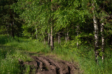 Middle Ural, Russia, -  wildlife landscape in sunny day,  birches