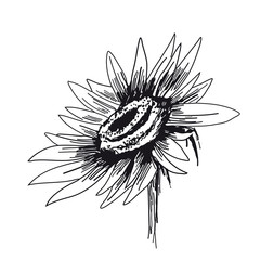 Sunflower on white background. Vector sketches hand drawn