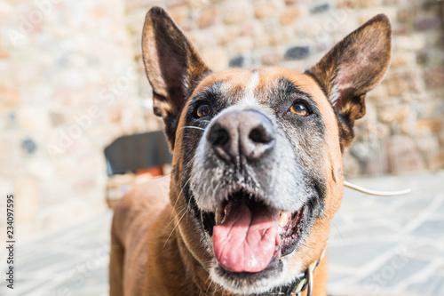 Retrato En Primer Plano De Perro Mestizo Pastor Aleman Y Boxer