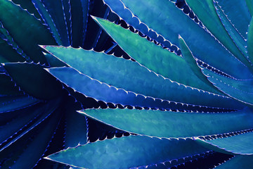 Spiky Leaves of Agave Plant in Blue Tone Color Fototapete