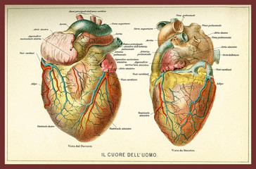 Vintage color table of anatomy, human heart with  anatomical descriptions in italian