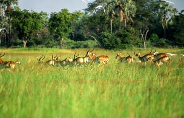 Lechwe (Kobus leche), Okavango Delta, Okavango Delta, Ngamiland, Botswana, Africa