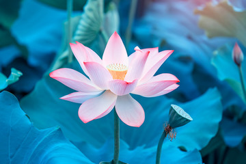 Door stickers Lotus flower blooming lotus flower