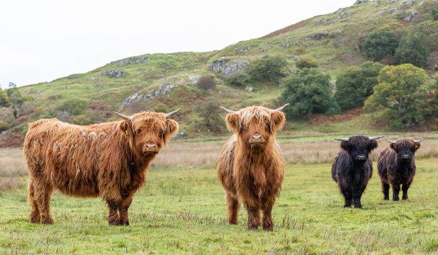 Schottische Hochlandrinder - braun und schwarz