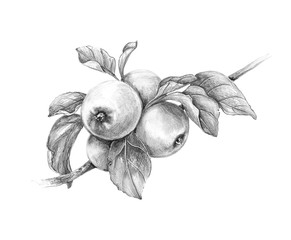 Apple Branch  Pencil Drawing