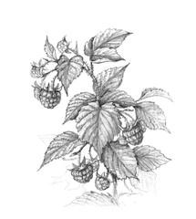 Raspberry  Branch  Pencil Drawing