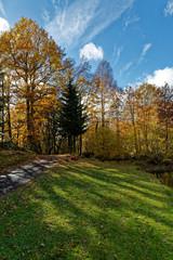 bouleaux en automne