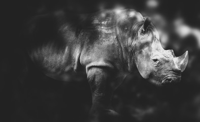 black and white' Rhinoceros on black background.