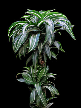 Dracaena Janet Craig  house plant isolated on a black background with clipping path.