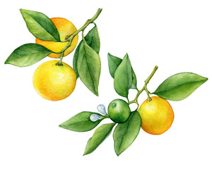 Set of citrus fruit round cumquat (also called Marumi or Morgani kumquat) on a branch with orange fruits and green leaves. Watercolor hand drawn painting illustration isolated on a white background.