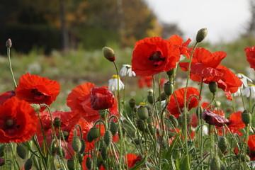Fototapeta maki dzikie ,polne kwiaty ,dzikie kwiaty ,maki jesienią ,maki i makówki