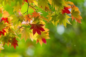 Fototapeta Maple tree over green background obraz