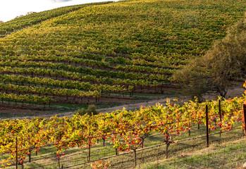 Vineyards of Napa Sonoma California in the Fall Autumn