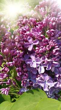 Beautiful flowering spring branch of lilac with sunlight